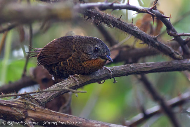 Rufous-throated Wren Babbler Spelaeornis caudatus