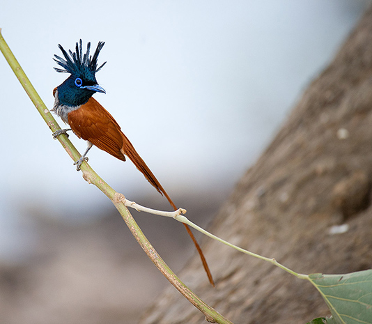 Asian Paradise-flycatcher Terpsiphone paradisi