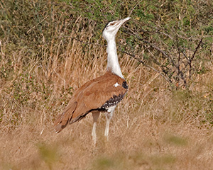 Great Indian Bustard (Ardeotis nigriceps)